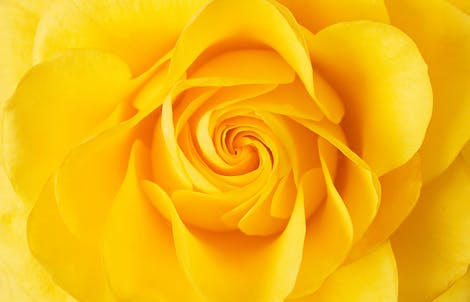 Close-up photograph of a rose representing joy & friendship